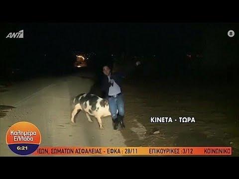 Ελλάδα: Γουρούνι κυνηγάει ρεπόρτερ ζωντανά στον αέρα εκπομπής…