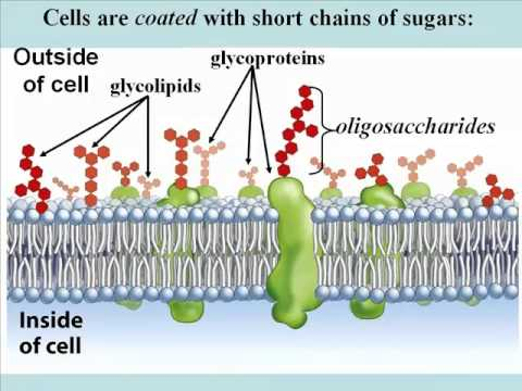 Biochemistry Part 1; Carbohydrates, Lipids & Proteins