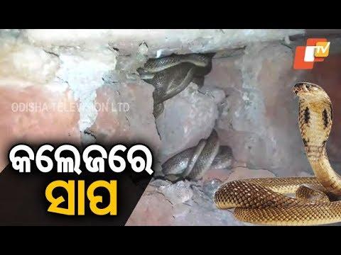Video 17 cobras rescued from Sahesmruti College in Dhamnagar of Bhadrak download in MP3, 3GP, MP4, WEBM, AVI, FLV January 2017