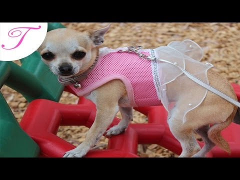Trixi the chihuahua: HAPPY 2ND BIRTHDAY !!