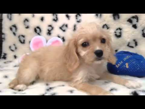 An Affectionate, Loving, And Adorable Cavachon