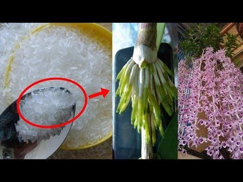 LẠ mà HAY: Dùng MÌ CHÍNH tưới cho lan, cây bỗng ra rễ chi chít, hoa nở bung tuôn dài như suối - Thời lượng: 4:20.