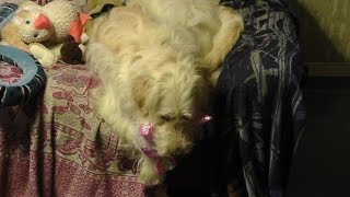 Without Head? Top 10 Funny Animals - Golden Retriever Poodle Mix Cute Golden Doodle Dogs No.29 REP1