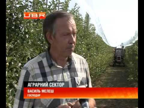 В Україні навчилися вирощувати елітні сорти яблук