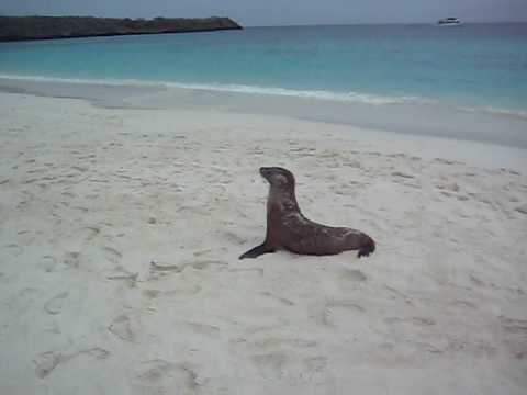 Baby sea lion - too tired!