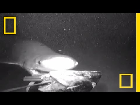 Shark Seen Attacking Deep Bait