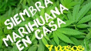 Siembra Marihuana en casa en 7 Pasos