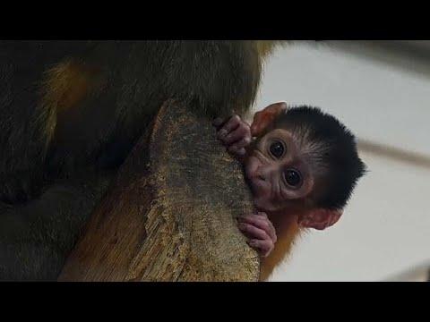 Budapest/Ungarn: Seltenes Affenbaby im Budapester Zoo ...