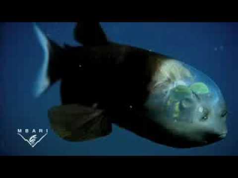 berreleye: l'incredibile pesce con la testa trasparente.