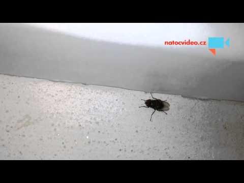 Zatoulaná moucha