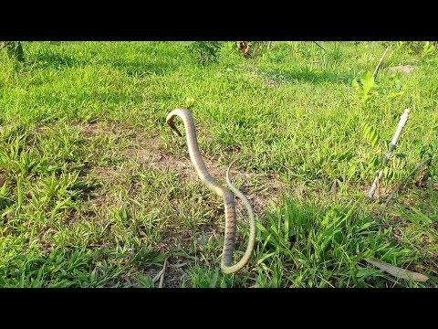 Thăm bẫy rắn dính 4 loại rắn, lần đầu dính rắn này. Chó lu rượt bìm bịp luôn | Săn bắt SÓC TRĂNG | - Thời lượng: 22 phút.