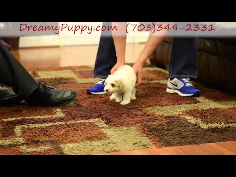 Adorable Miniature Poodle Male Puppy
