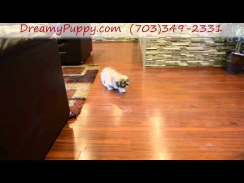 Cute Lhasa Apso Girl!
