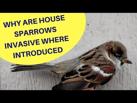 Why are House Sparrows an Invasive Species Where Introduced 2018
