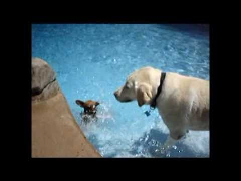 Labrador coaches, teaches Chihuahua How to Swim World's Slowest Swimming Dog Breed