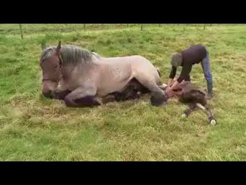 Video horse giving birth!!!amazing download in MP3, 3GP, MP4, WEBM, AVI, FLV January 2017