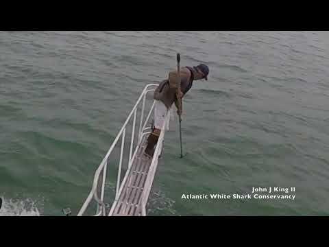 Valkohai hyppää ja säikäyttää tutkijan – Tais tulla löysät housuun