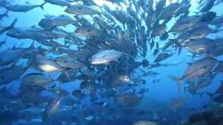 A short look at diving in the Solomon Islands onboard Bilikiki. For more information please visit www.bilikiki.com.