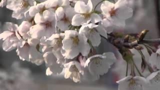 犬山羽黒桜だより3:五条川小弓橋八分咲き