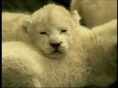 Rare White Lion Cubs Debut