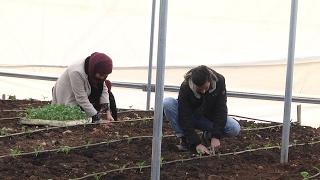 زراعة البروكلي بالطريقة المحمية لأول مرة لكسر إحتكار المنتج الإسرائيلي