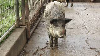 猪豚ちゃん wild boar and domestic pig hybrid 2015 1206