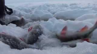Зимняя рыбалка на Рыбинке. Большой окунь.