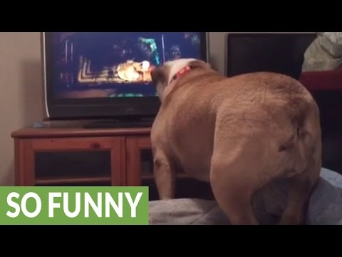 English Bulldog warns girl on TV during horror