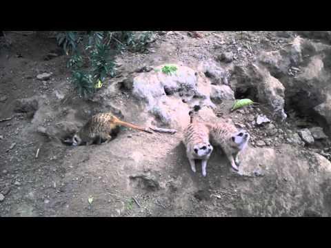 San Diego Zoo Meerkats & a Stuffed Lion