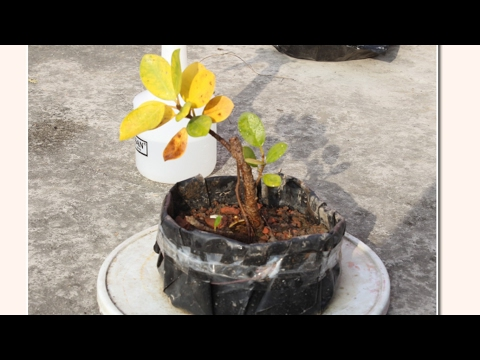 पुनर्जन्म, Bonsai,Dying Ficus cutting, 23,11,16 part 2, (Regeneration)