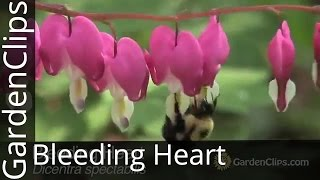 Nonton Bleeding Heart   Dicentra Spectabilis   Lamprocapnos Spectabilis   How To Grow Bleeding Heart Film Subtitle Indonesia Streaming Movie Download