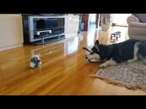 Furby vs Siberian Husky