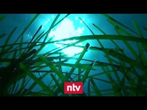 Mallorcas Unterwasser-Wälder sind bedroht | n-tv