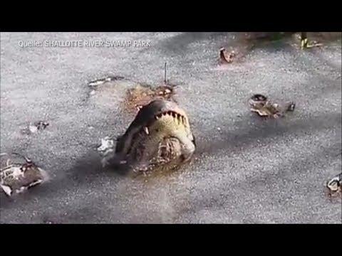 Coole Überlebenskünstler: Alligatoren im Eis