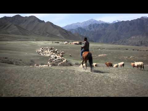 在新疆隨處可以見到羊群,..
