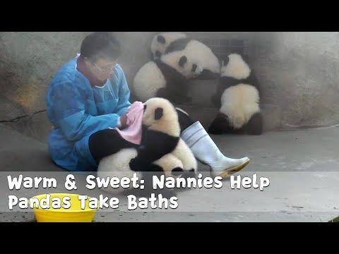 Warm & Sweet: Nannies Help Pandas Take Baths   iPanda (видео)