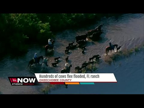 Cows rescued as Okeechobee County ranch floods