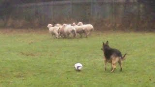 GSD Zoe NOT chasing the sheep.