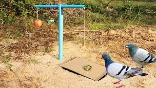 Video Easy Bird Trap Using Blue Pipe Cardboard and a Apple Fruit MP3, 3GP, MP4, WEBM, AVI, FLV Januari 2019
