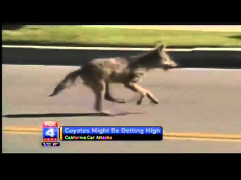 Coyotes Are Getting High In California