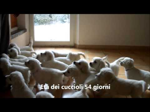 Vendita cucciol di golden retriever disponibili