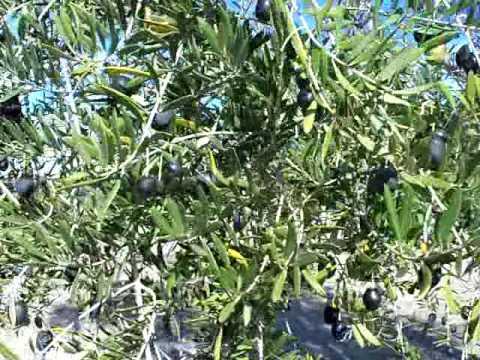 Olive Ascalona.mov