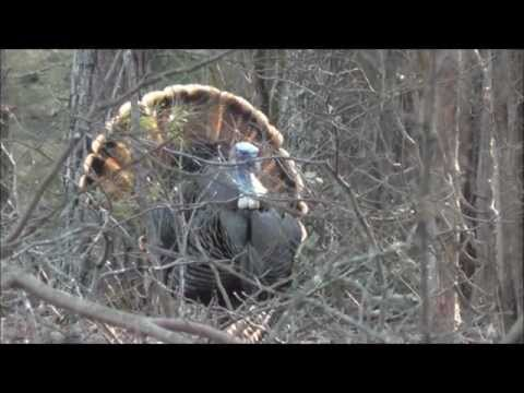 Opening Day Turkey Season 2013 – Mark's Gobbler