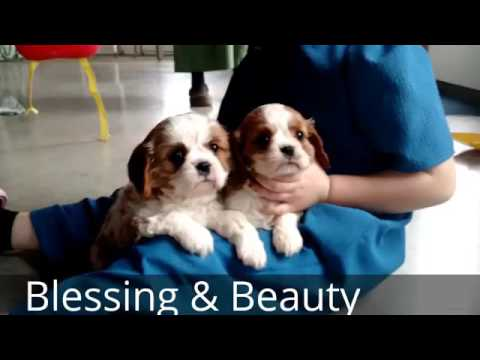 Beauty & Blessing - King Charles Cavalier