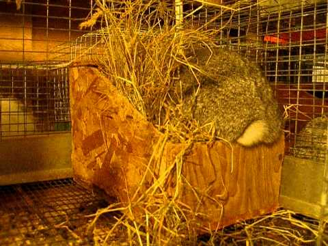 M an' M's Zoli Standard Chinchilla Doe Nesting
