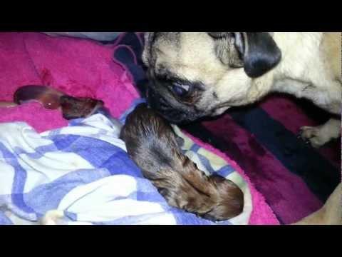 Mops bei der Geburt / Pug give birth