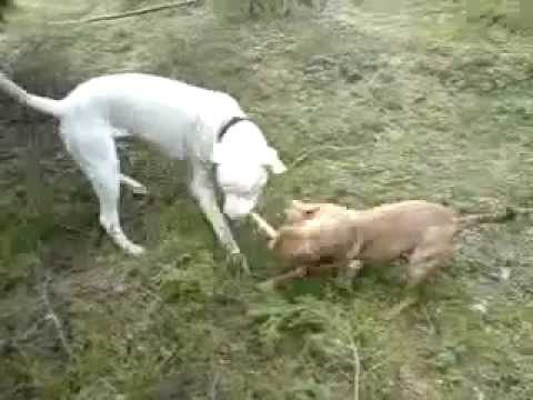 PITBULL VS DOGO ARGENTINO