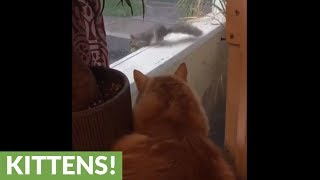 Frustrated cat helplessly watches fearless squirrel