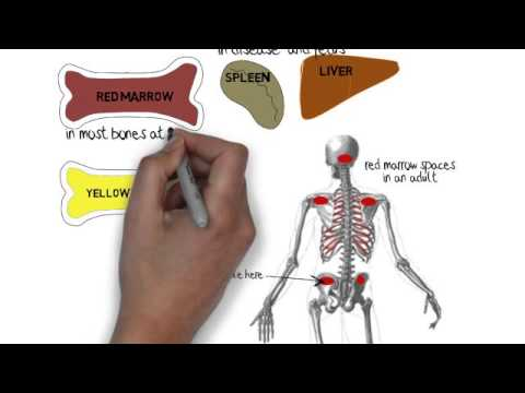 What are the roles of the spleen and marrow?