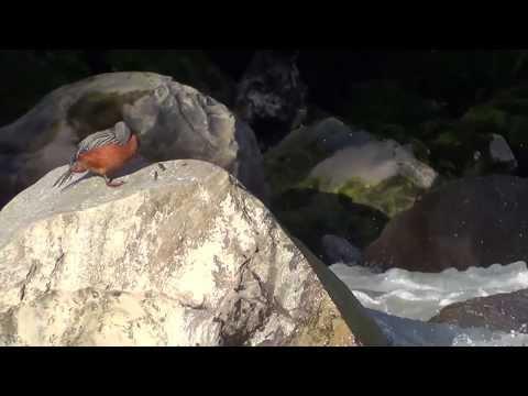 Pato correntino en Rìo Gol Gol, Anticura, Puyehue (8,4)